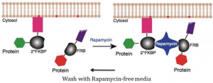 Reversible binding of Rapamycin to FKBP and FRB